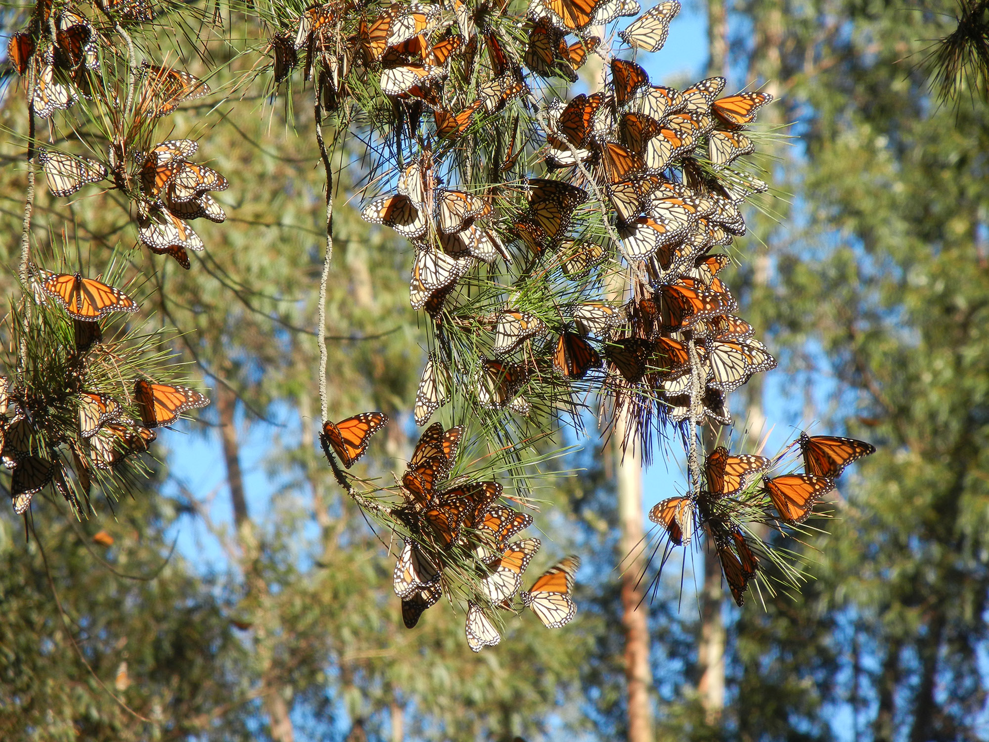 AN overwintering cluster of monarch butterflies in a Monterey pine tree.