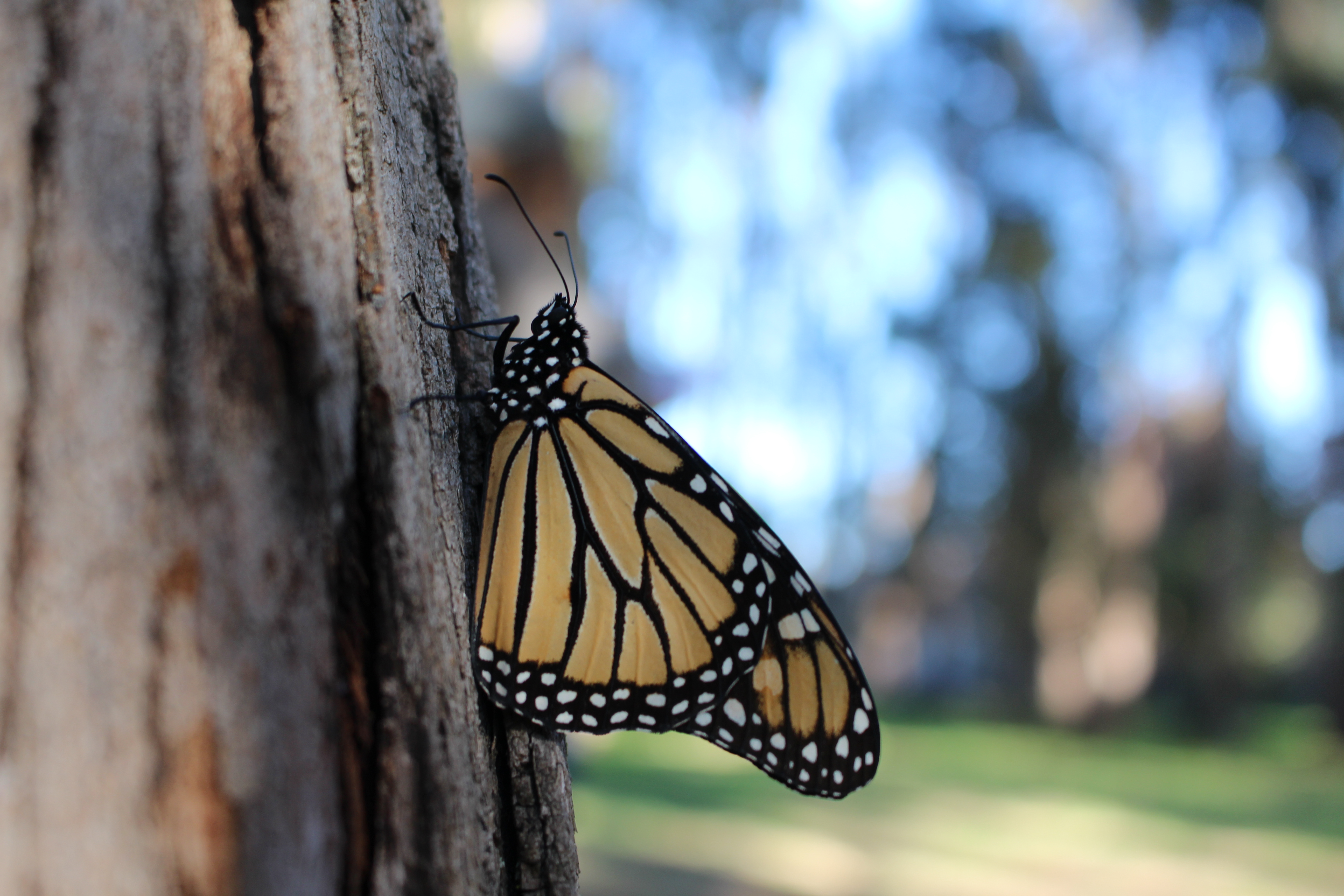 A monarch, with its wings folded, showing the duller orange side, clings to a rough tree trunk in a dimly-lit landscape.