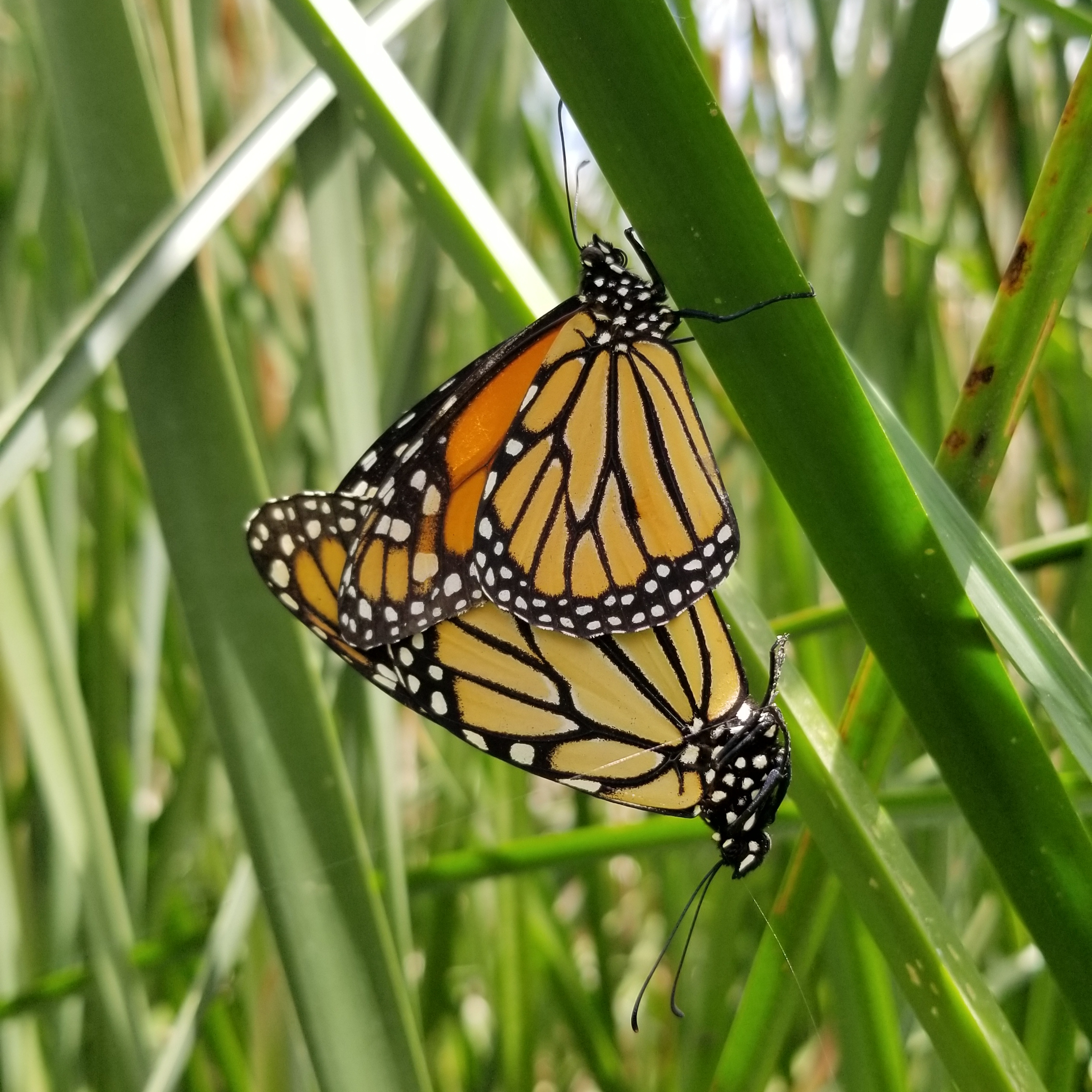 Two monarchs' wings entwine a bit as they stand rear-to-rear, mating on a leaf.