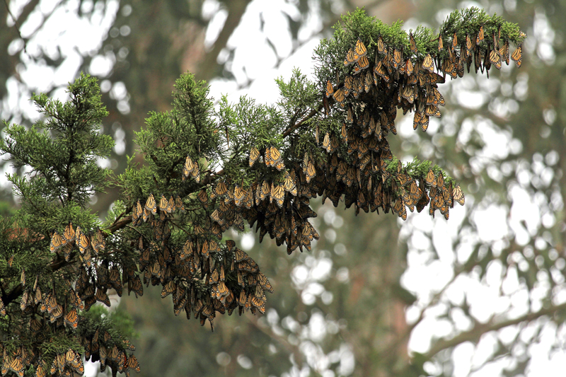 cluster of monarchs in tree