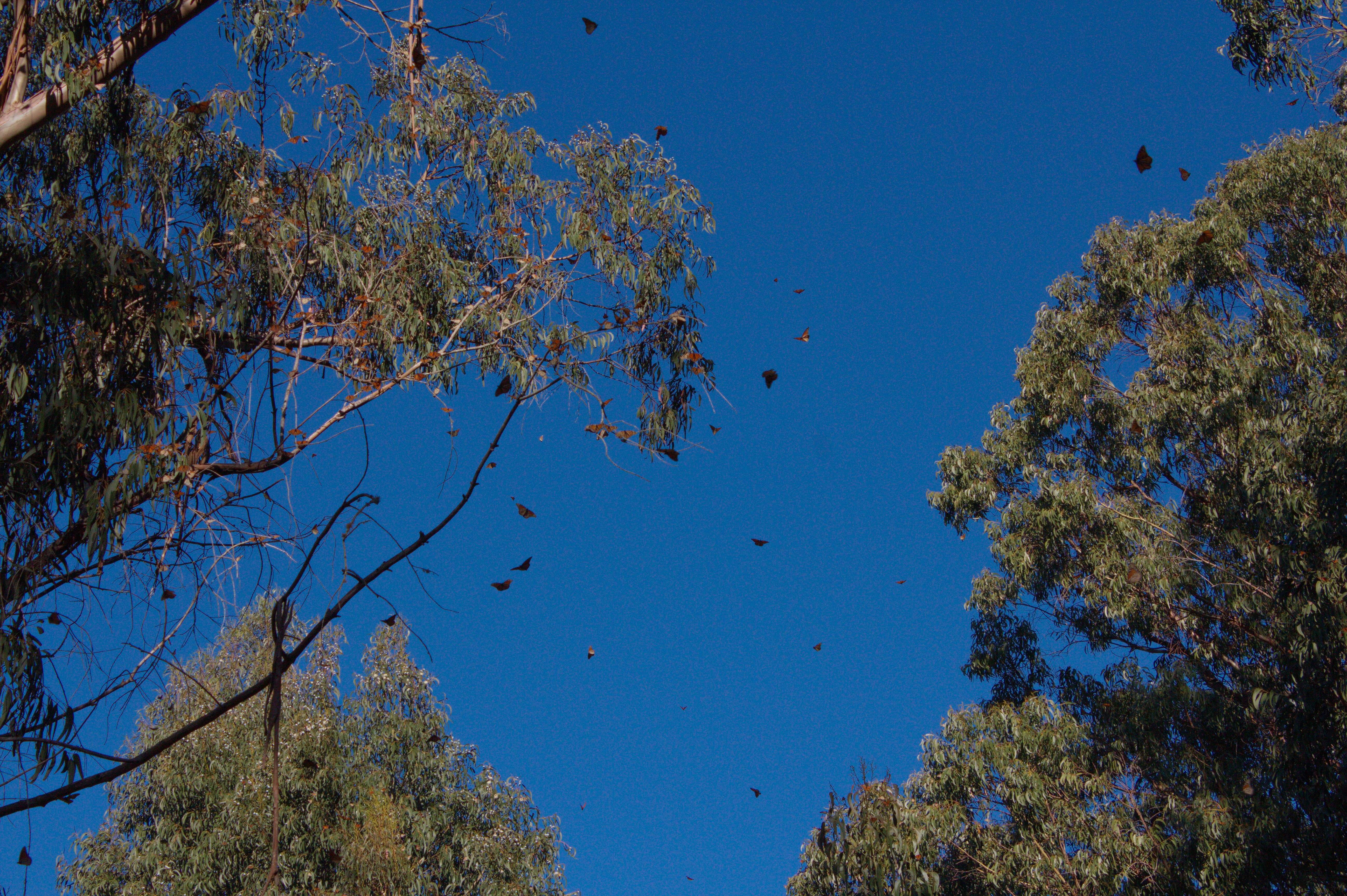 In this upward-facing image, trees laden with monarchs stand against a deep blue sky. Some bright orange monarchs are also shown in flight.