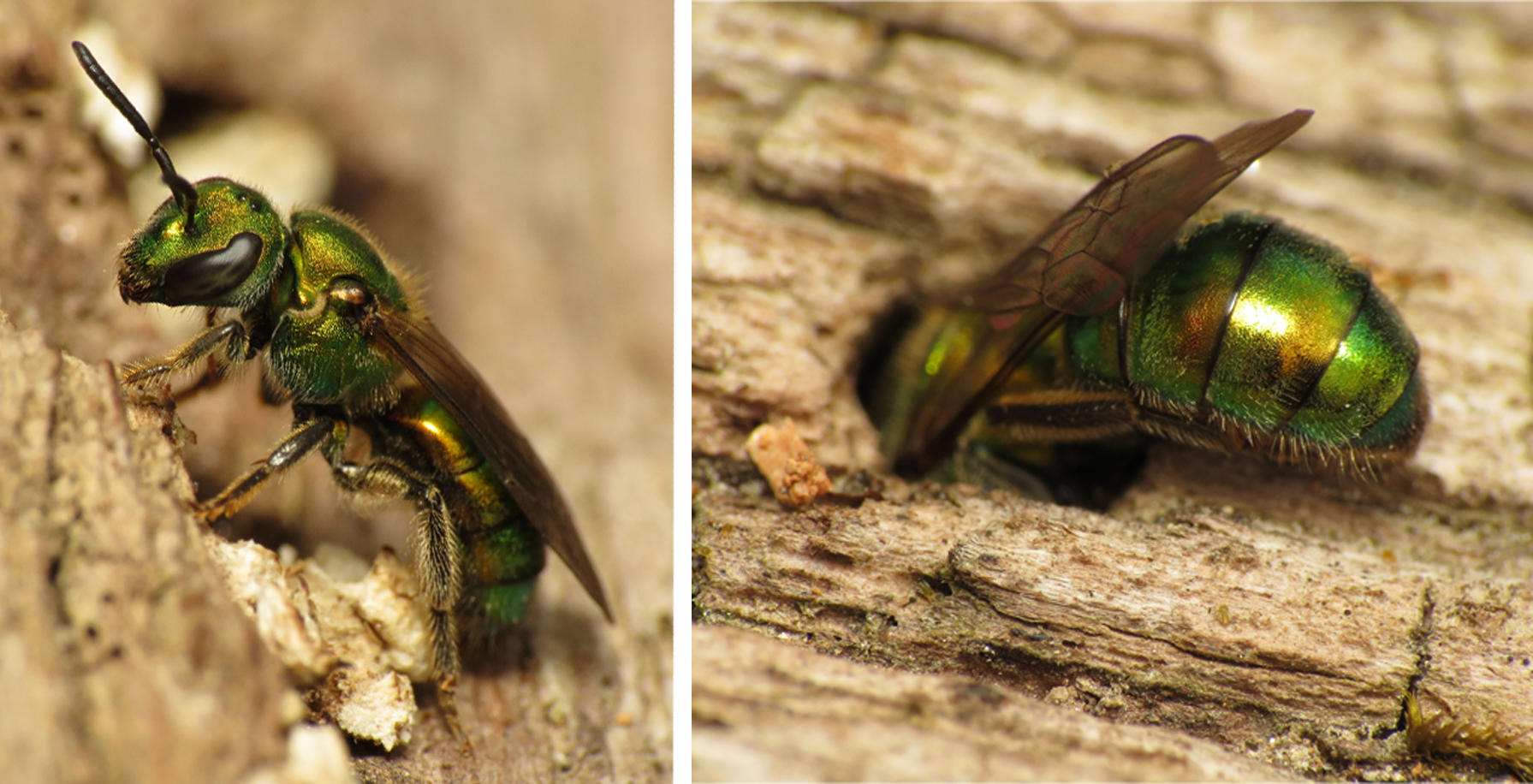 In this two-part graphic, a metallic green bee first is posed near a hole in reddish-tan wood, and then starts to climb headfirst into it.