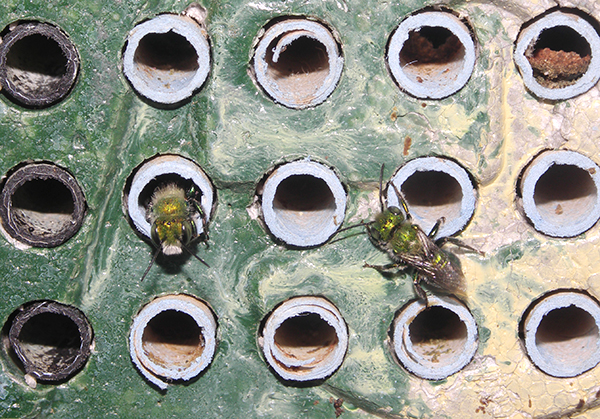 osmia aglaia males at nest tunnels
