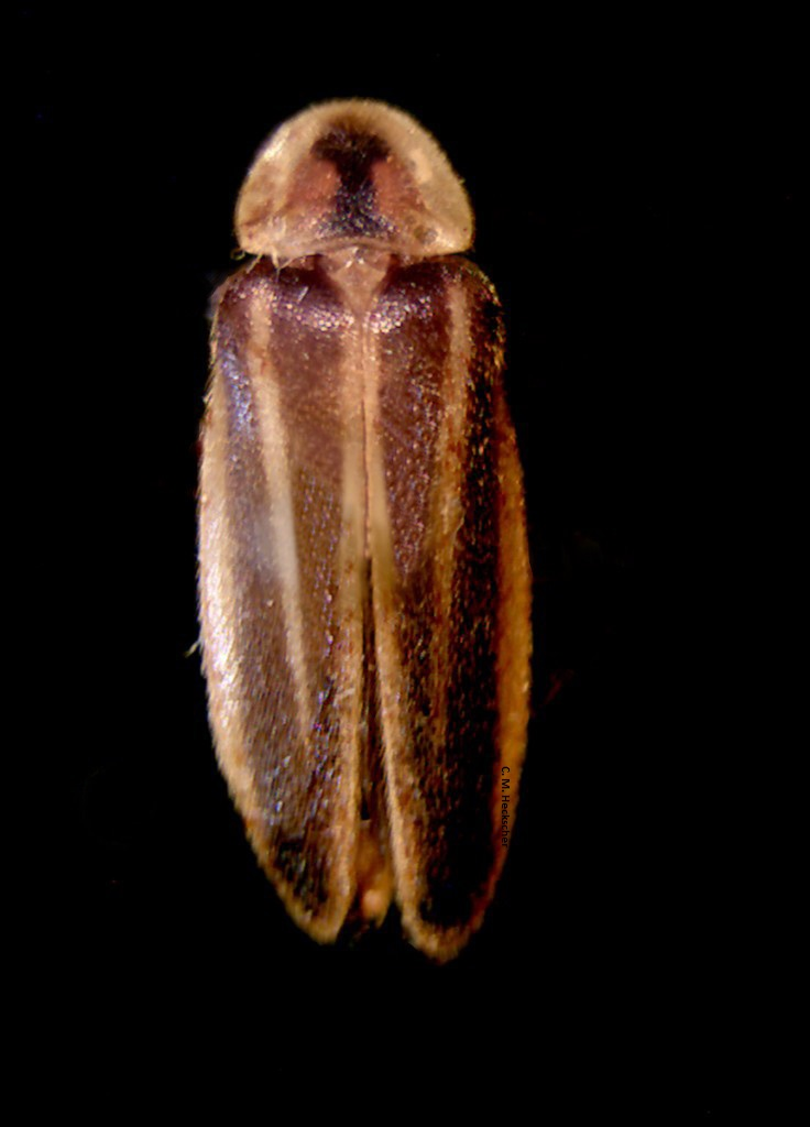 A dry, brown specimen of a firefly looks like it would be brittle and fragile to the touch.