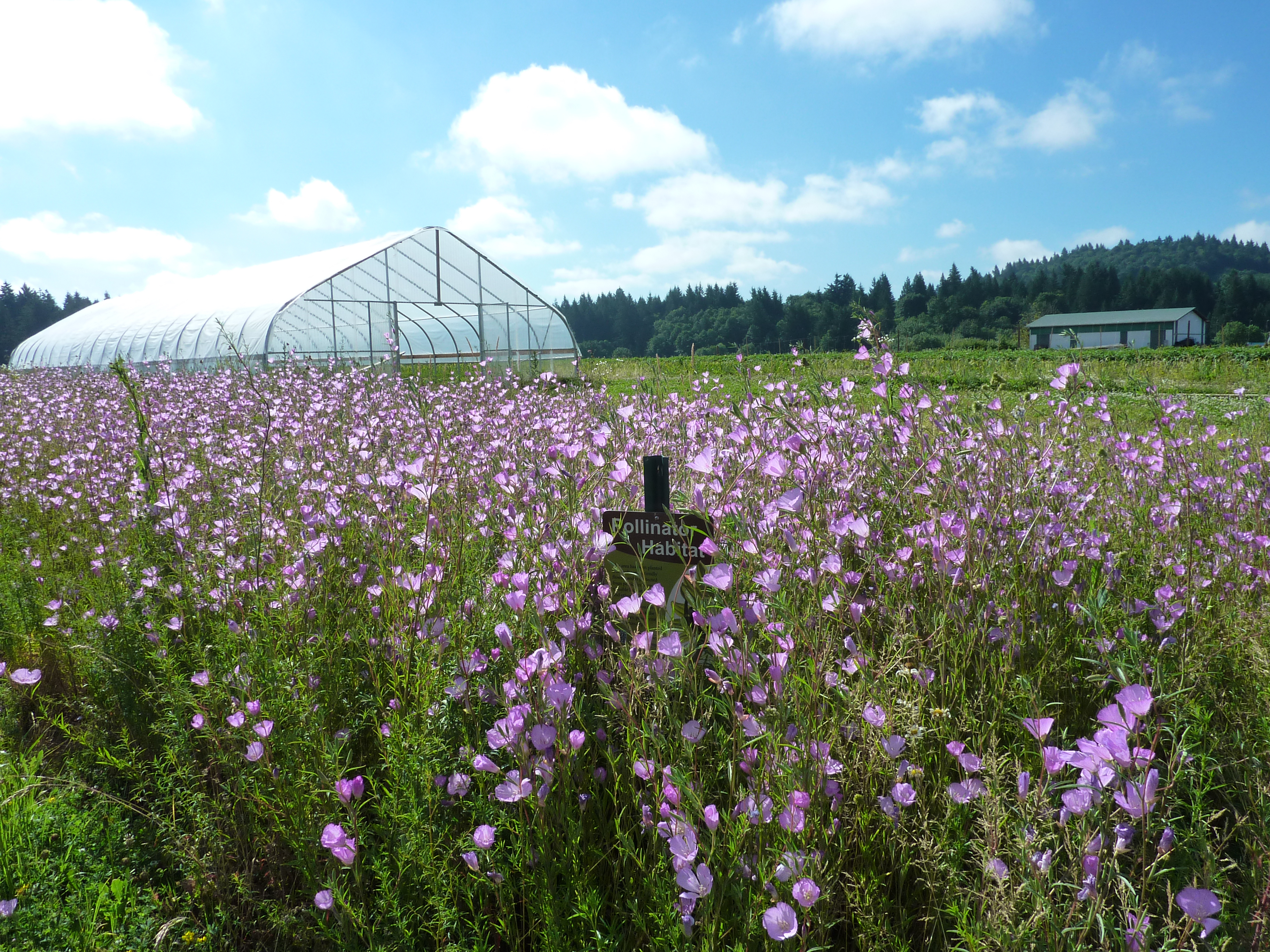 A field of purple flowers with a greenhouse in the background and the Xerces Society among the flowers.