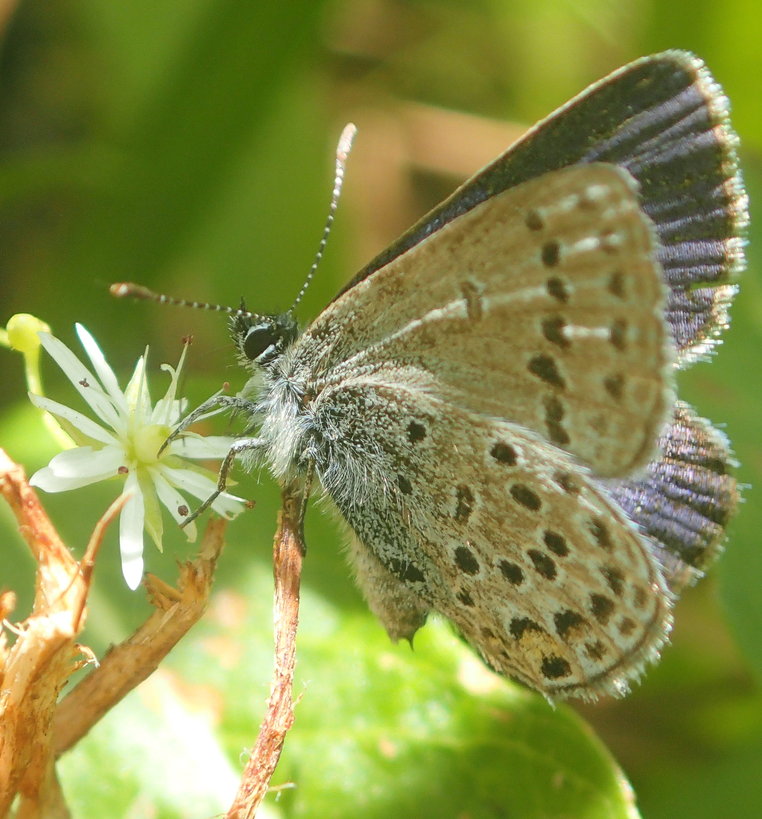 A close-up of a cranberry blue butterfly on a branch.