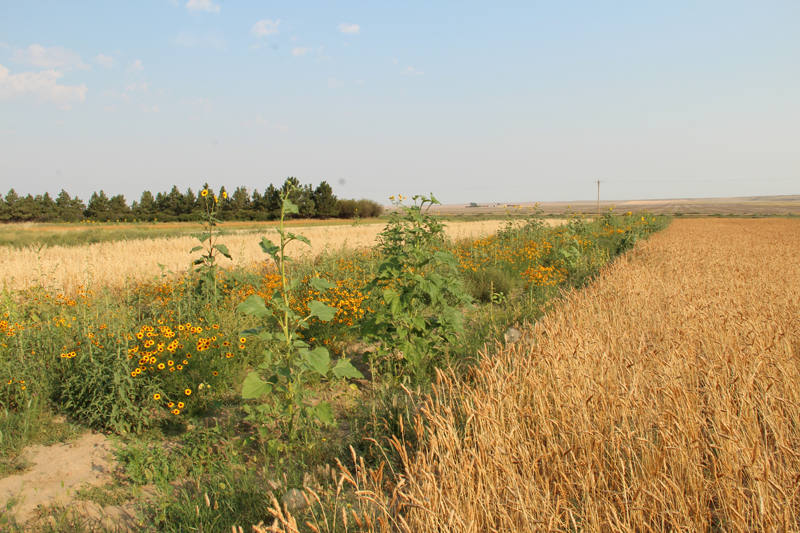 The pollinator supporting features implemented at Villicus Farms in Montana can be scaled-up to meet the needs of large-scale producers.