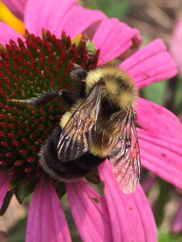 A fuzzy bumble bee with yellow and black stripes, as well as a distinct, rust-colored patch on its back, clings to a bright fuschia-colored flower.