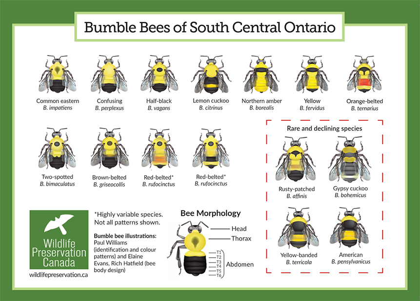 "A diagram shows illustrations of different bee species under the heading ""Bumble Bees of South Central Ontario."""