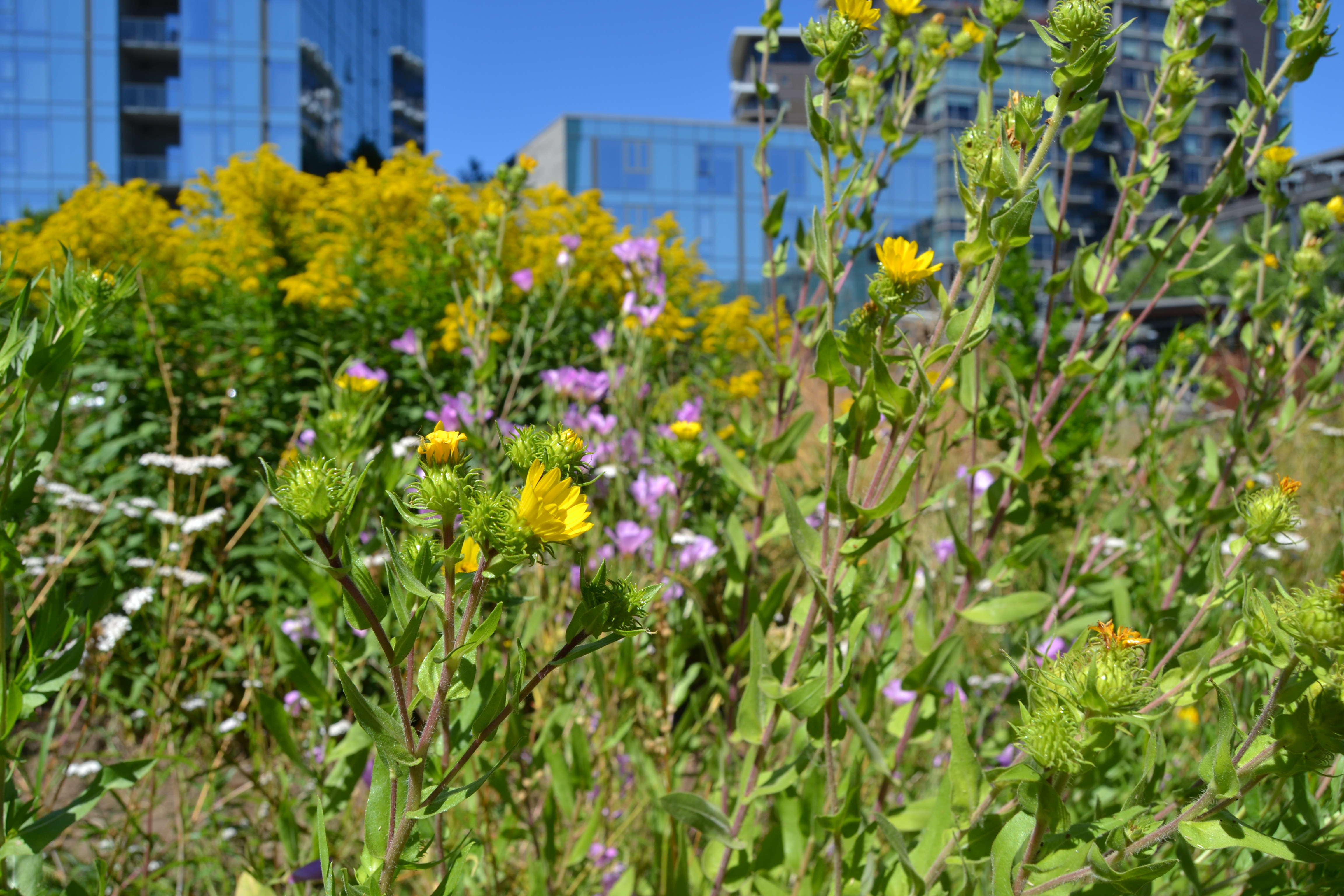 A thick cluster of flowering plants nearly obscures the shiny skyscrapers behind them.