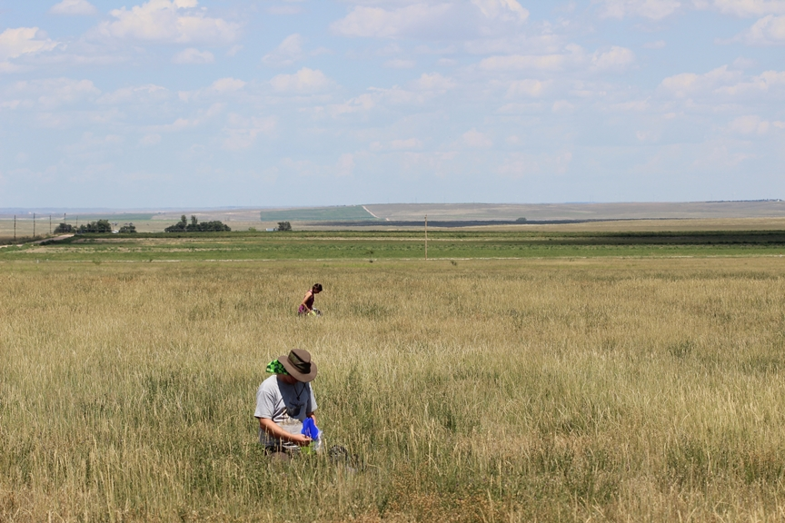 USGS technicians check bee traps from a harvested wheat field in Colorado