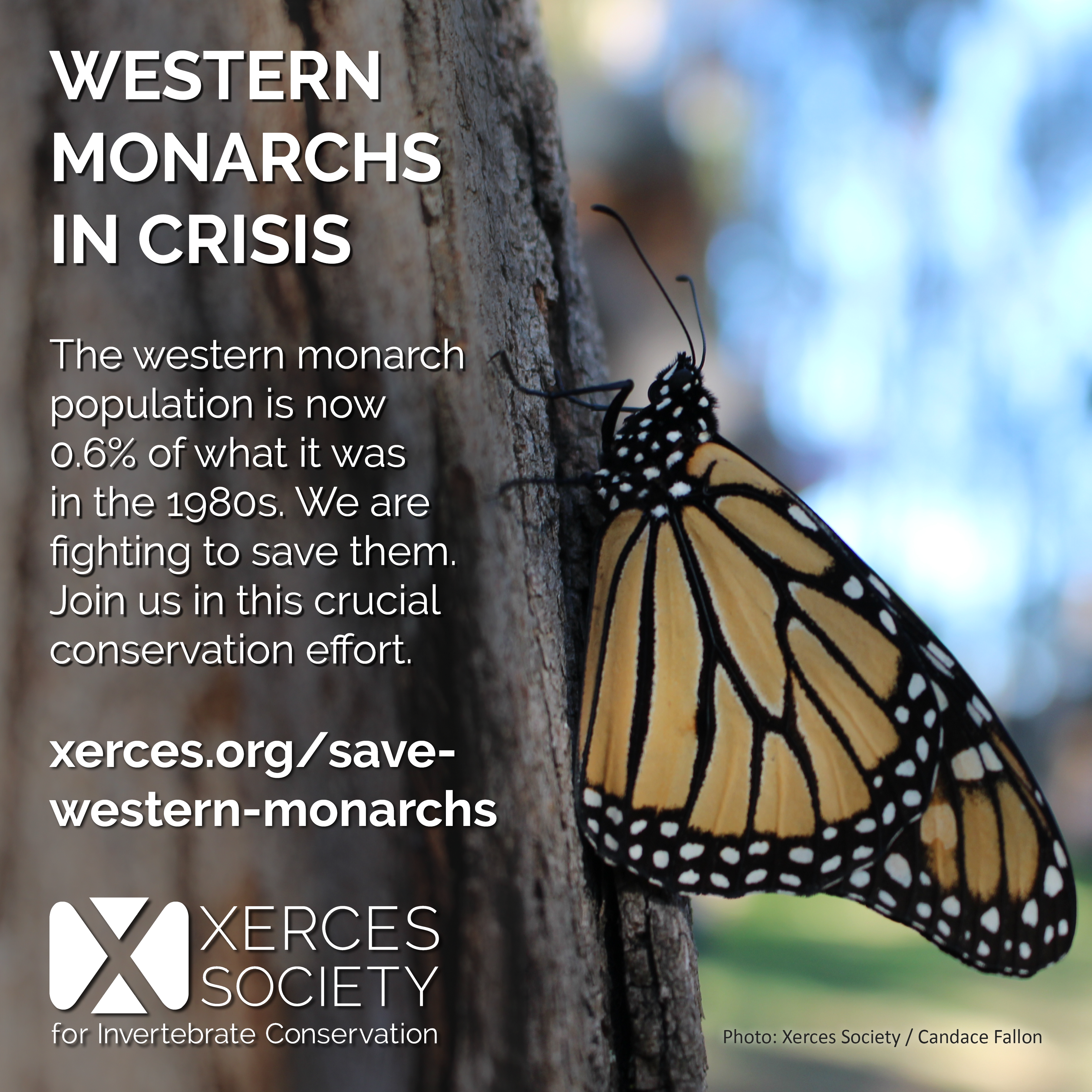 This graphic lays out the basic problem (a 99% population decline since the 1980s), and provides a link to savewesternmonarchs.org.