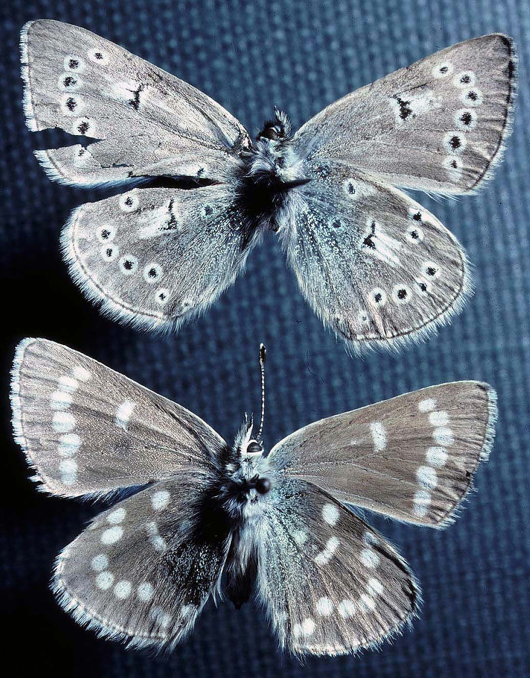 Two tattered blue and gray butterflies are mounted on pins. Specimens like these are all that remain of the Xerces blue butterfly.