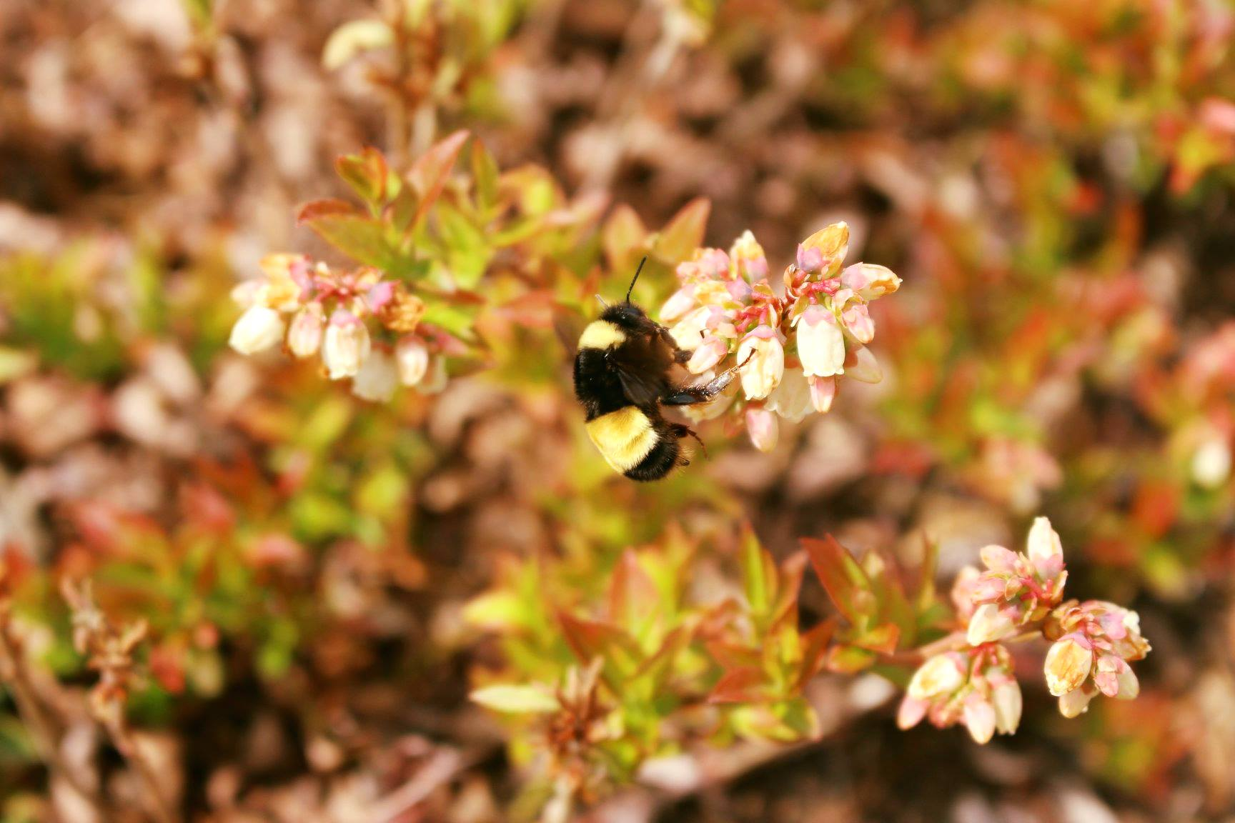A fuzzy bumble bee with black and yellow stripes collects pollen from a pinkish blossom, in a landscape tinged red by changing leaves.