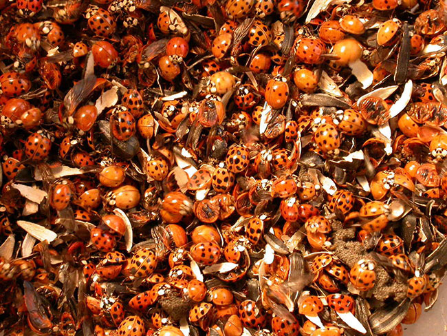 asian ladybeetles