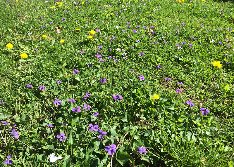 A profusion of violets and dandelions crowd a verdant lawn with blossoms.