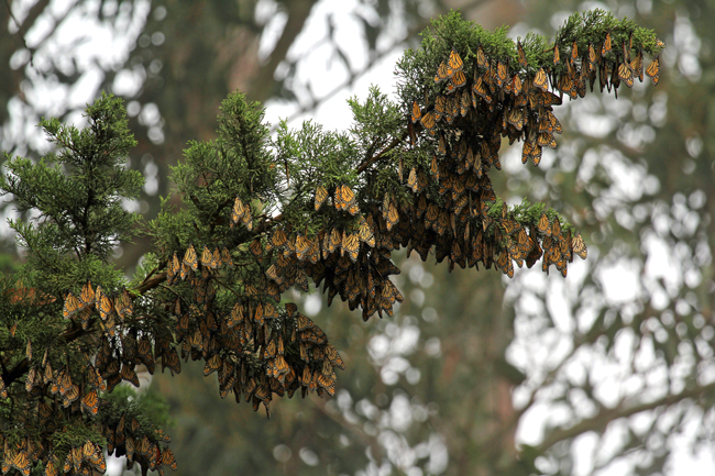 A cluster of overwintering monarchs. Photo: Carly Voight