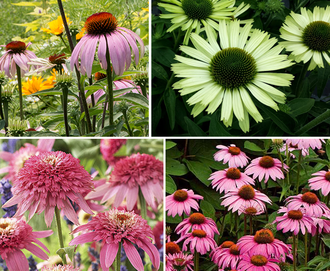 Purple coneflower (Echinacea purpurea) has been bred into more than 100 cultivars. Shown clockwise: the straight species, 'green jewel' which is much less visible to pollinators, 'pink double delight' is a sterile cultivar that doesn't produce pollen and whose nectar is inaccessible, 'magnus' which is more densely flowered but otherwise little changed from the straight species.