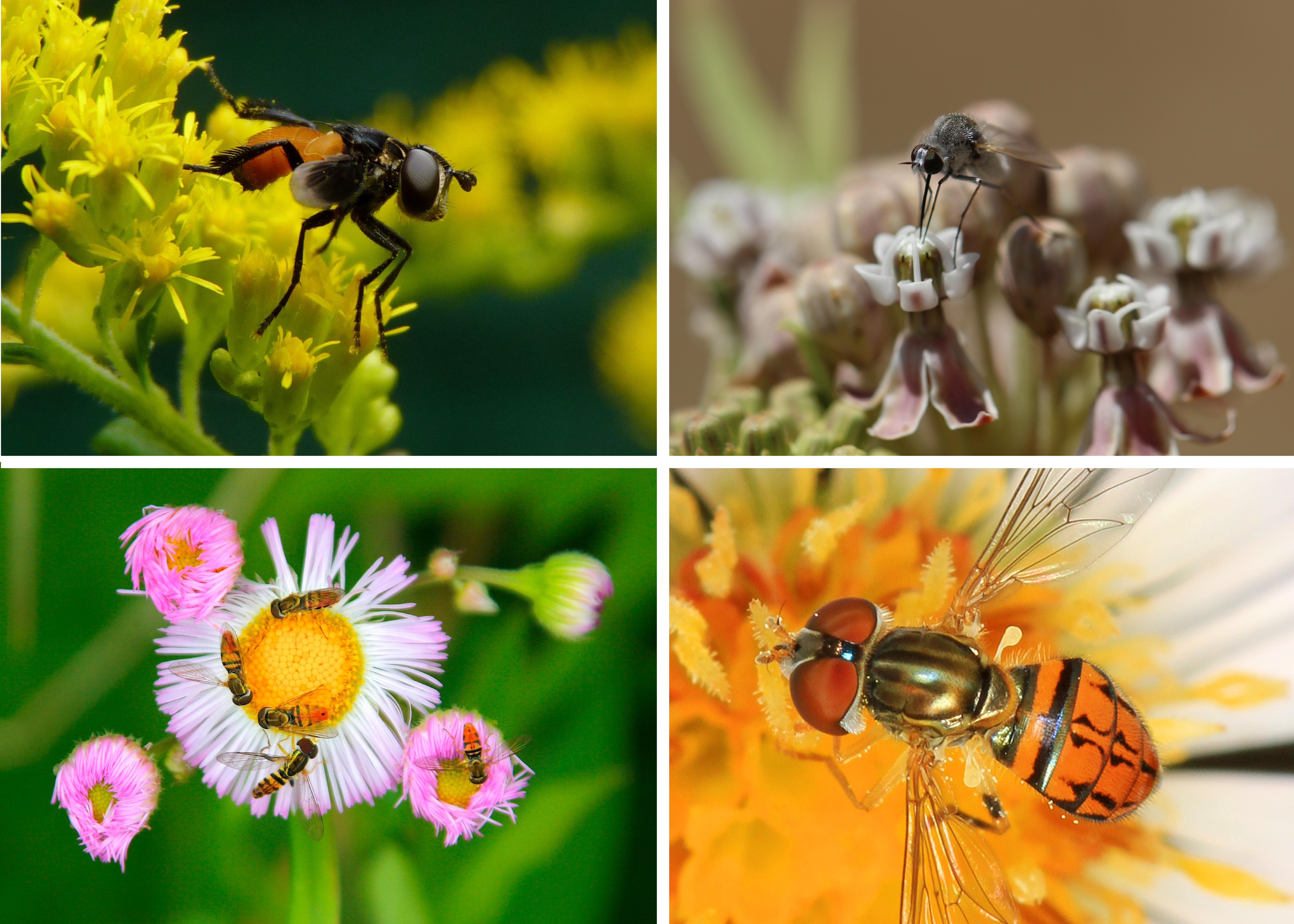 A colorful assortment of fly images demonstrates the diversity of Diptera.