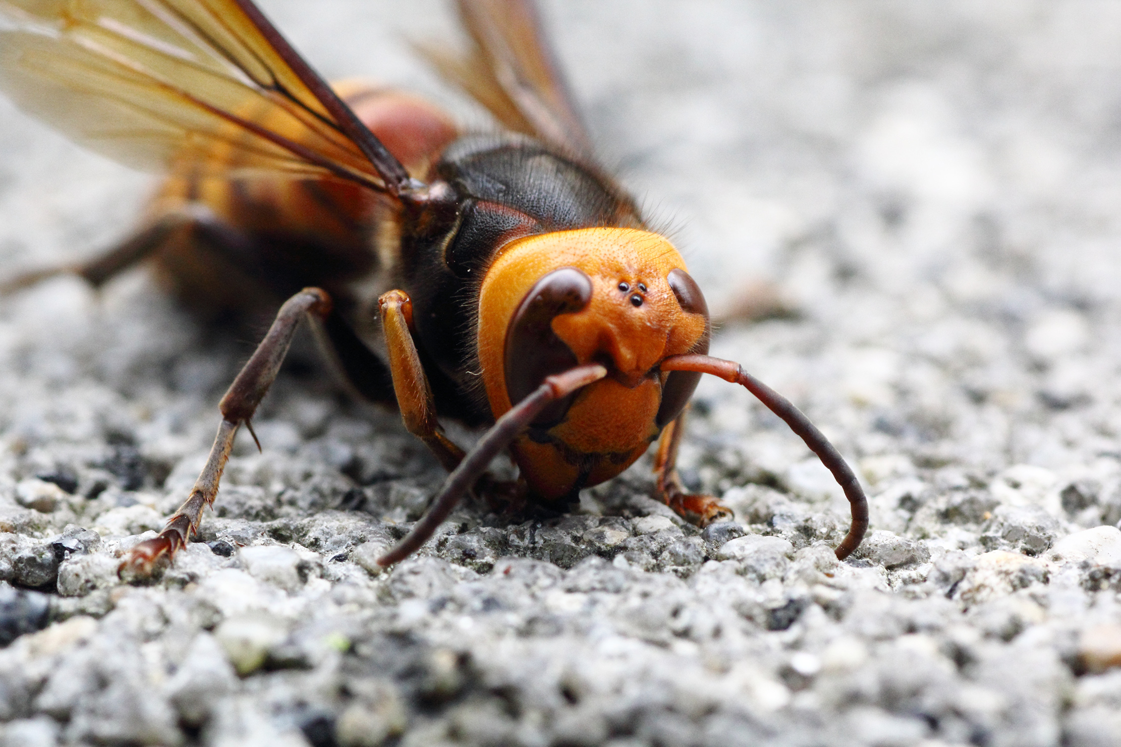 The giant hornet is a formidable insect, with a bright orange face.