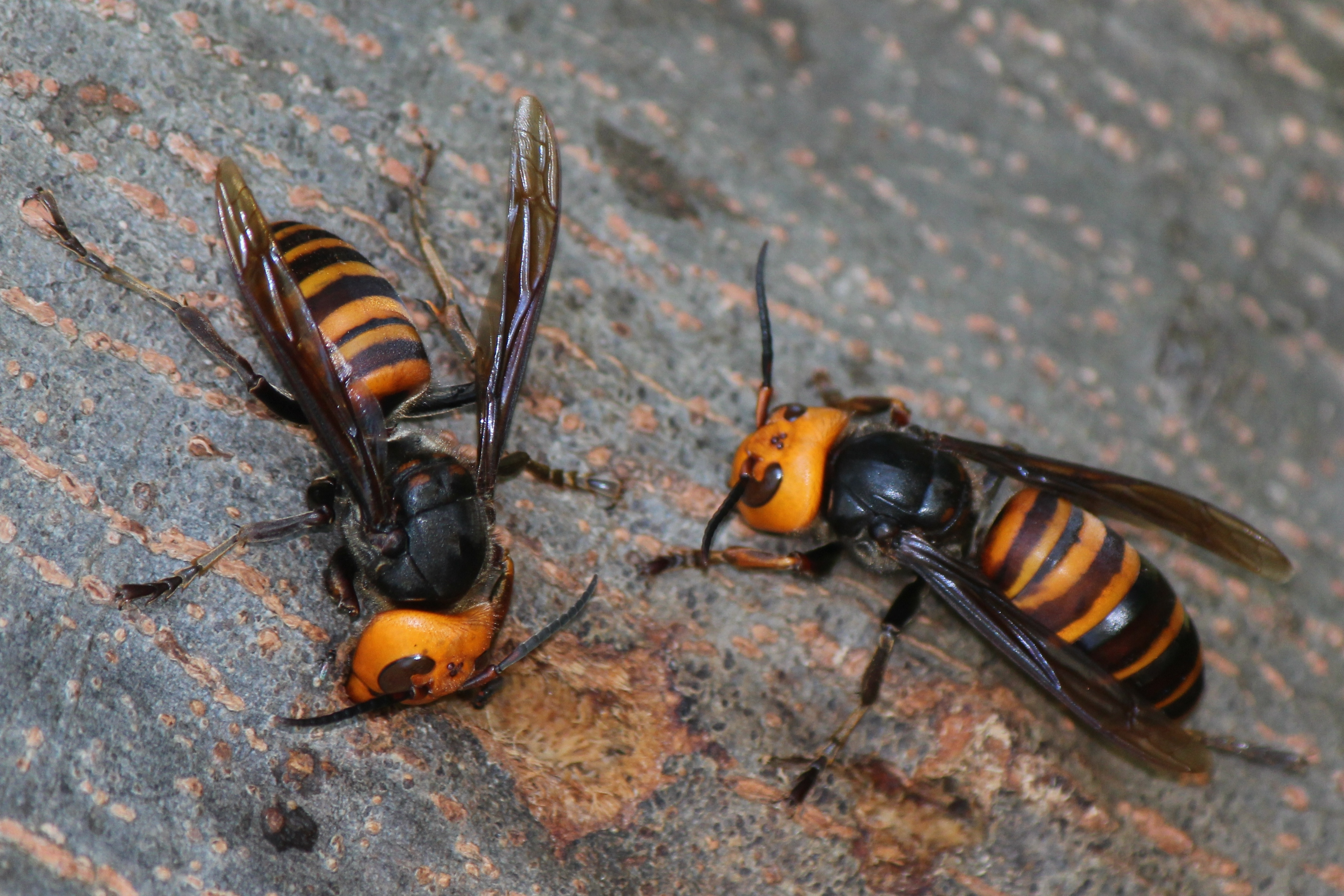With orange and black stripes on its body and a bright orange face, the giant hornet is a formidable-looking wasp.