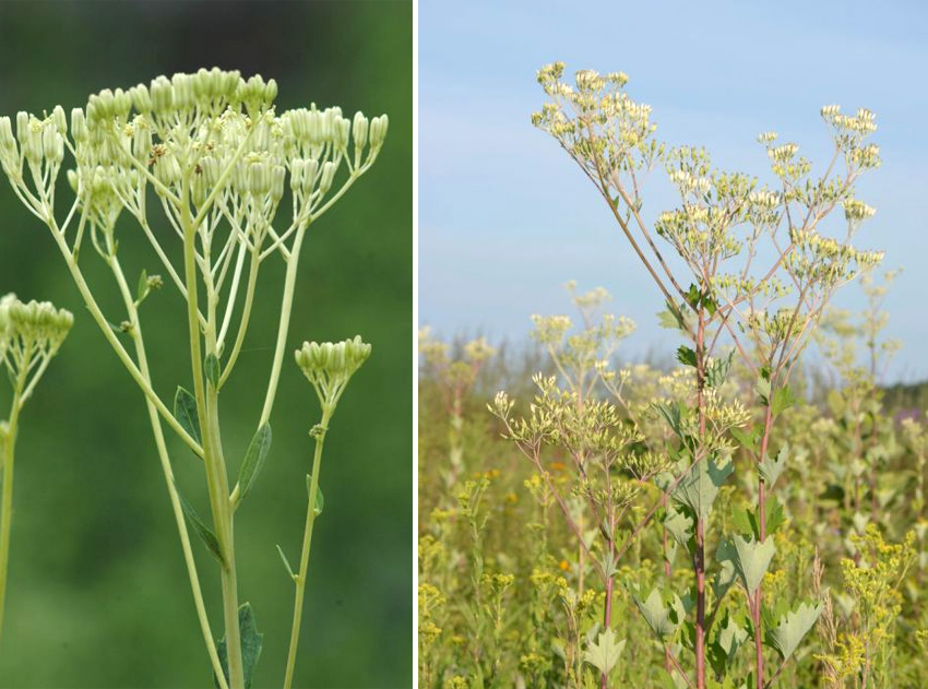 Side-by-side images show Indian plantain. In the first image, it is isolated and displays the rubbery effect. In the second image, it is mixed amid a field.