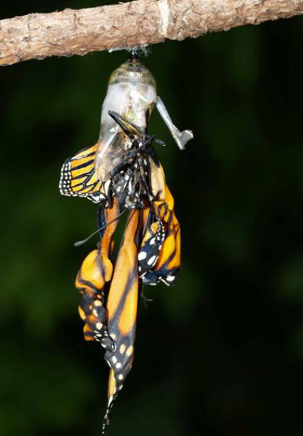 A monarch with crumpled, deformed wings hangs sadly from a chrysalis it just emerged from.