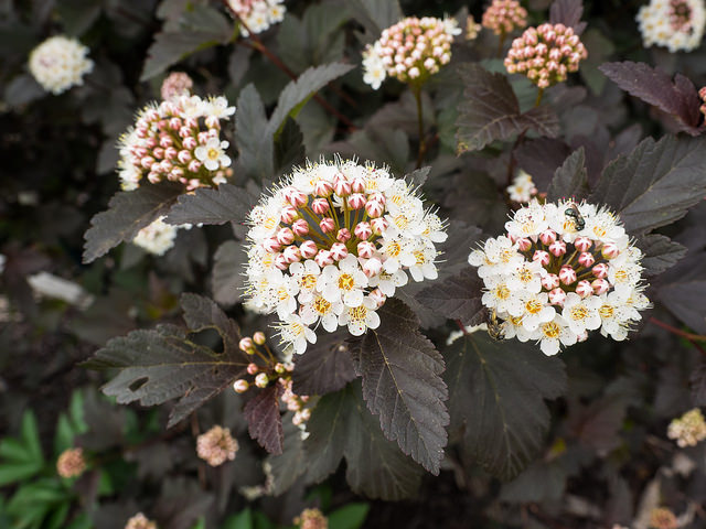 Ninebark (Physocarpus spp.) has been bred into dozens of cultivars featuring red foliage. This foliage is high in anthocyanins, which may be toxic to caterpillars or other insects that might use the leaves. Photo by F. D. Richards via Flikr