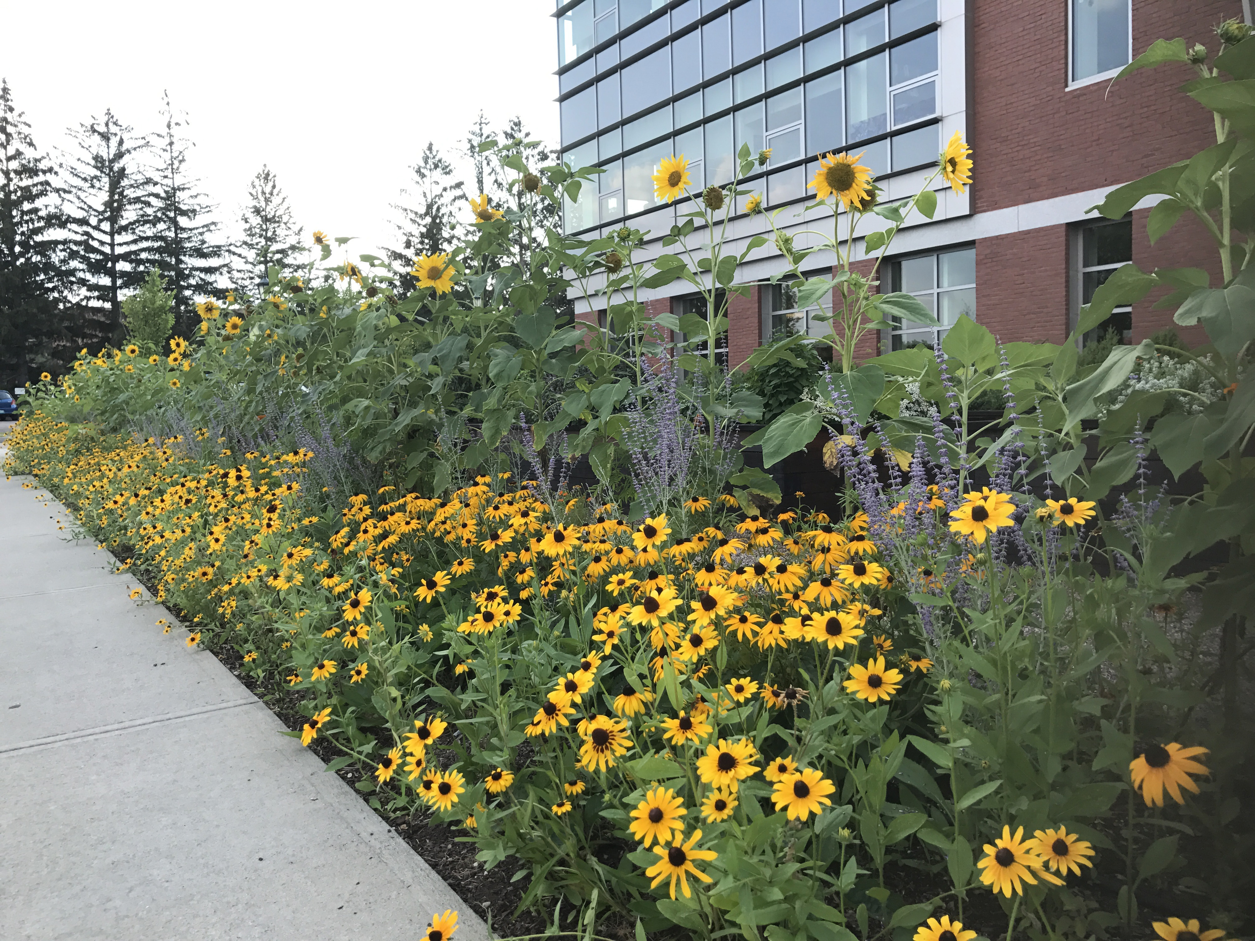 A stand of sunflowers dominates this streetside flower border planted on the campus of University of Vermont.