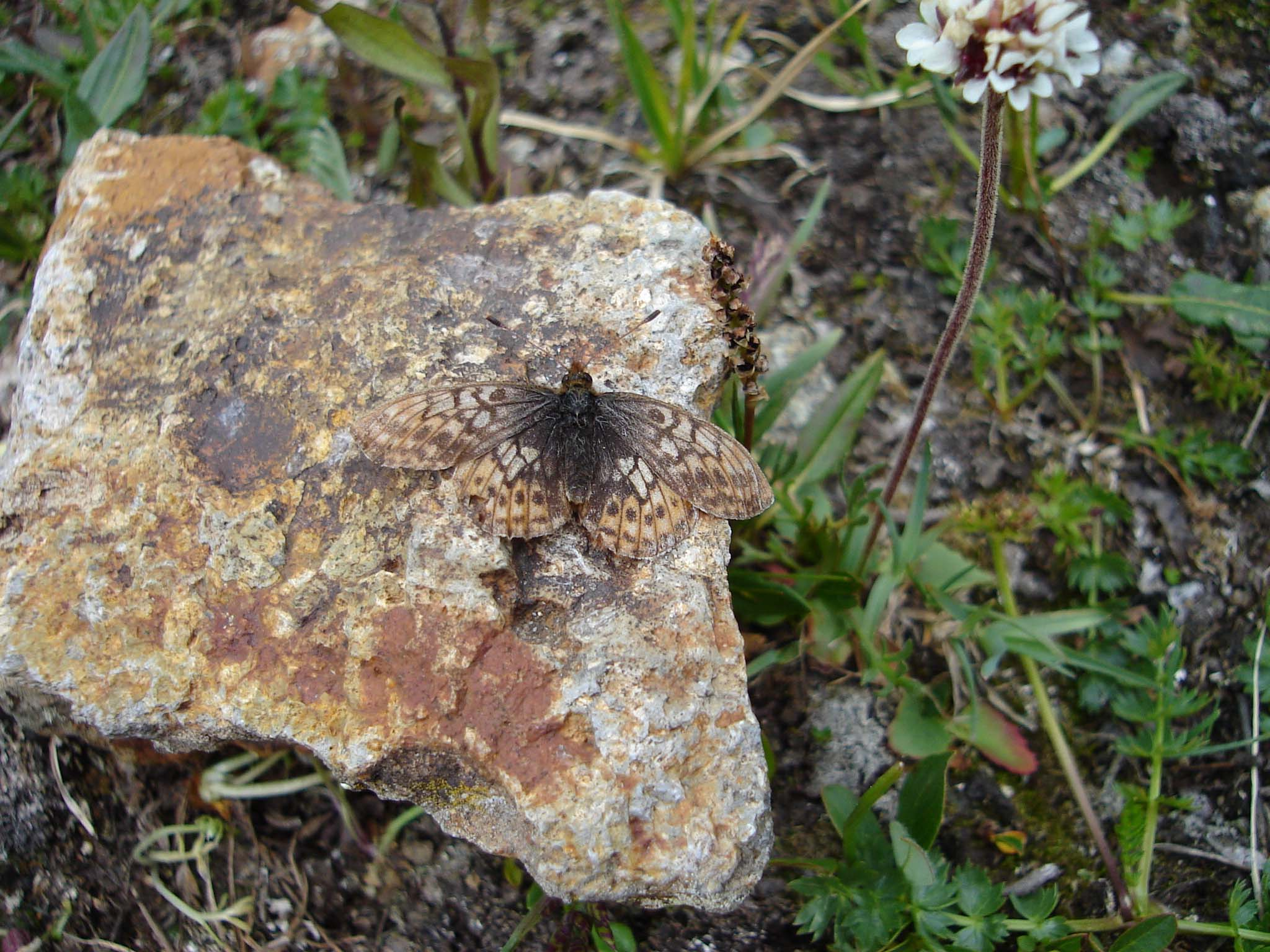 A brown, mottled butterfly blends in nearly perfectly on a brownish rock.