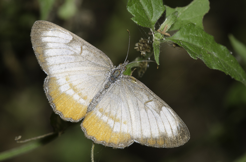 A dusty white and pale orange butterfly shows wings outstretched as it rests on foliage.