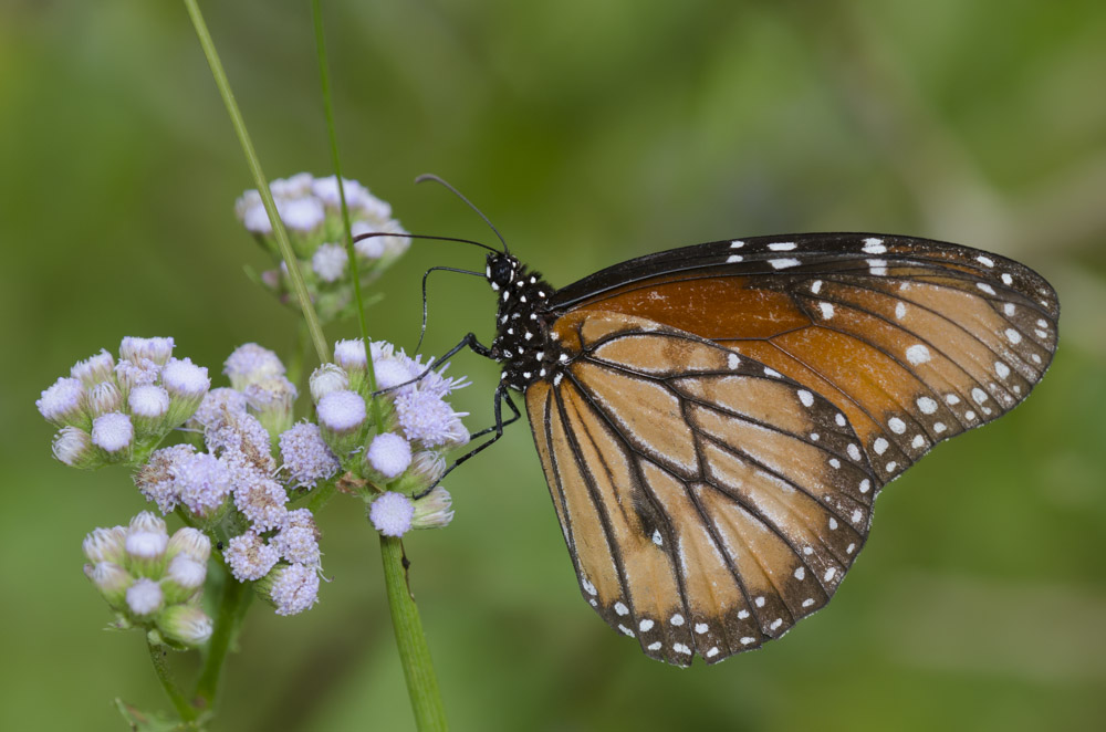 A butterfly that closely resembles a monarch, down to the white polka dots on its black body, rests on a plant's slender foliage.