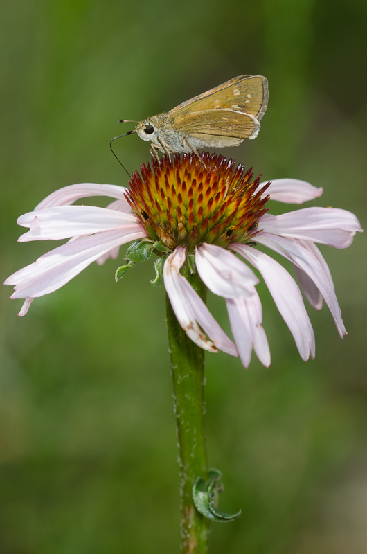 A small, drab butterfly rests with wings closed on the top of a single coneflower with pale pink drooping petals.