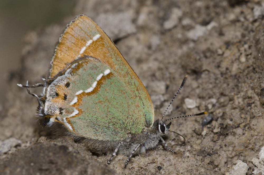 A sage-green-and-pale-brown butterfly rests on open ground with its wings closed.