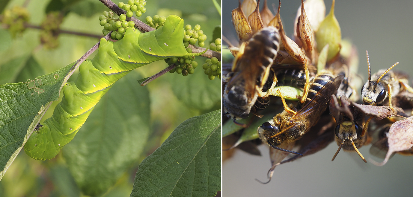 In this image collage, on the left, a bright green caterpillar is shown. On the right, there are many, many small bees clustered together.