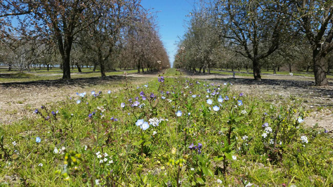 cover crop in almond grove