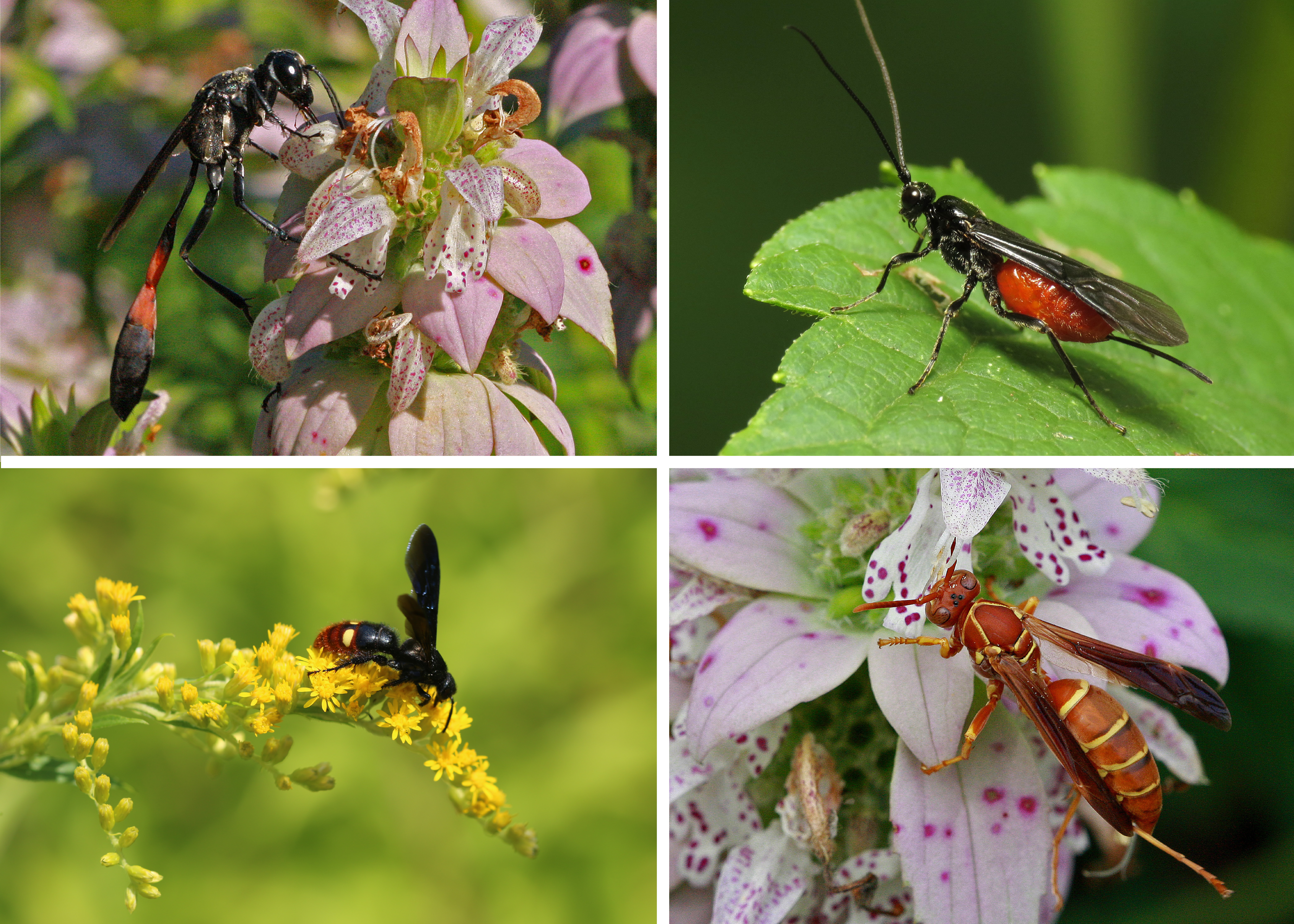 A colorful assortment of wasp photos demonstrates the diversity of species among this category of Hymenopterans.