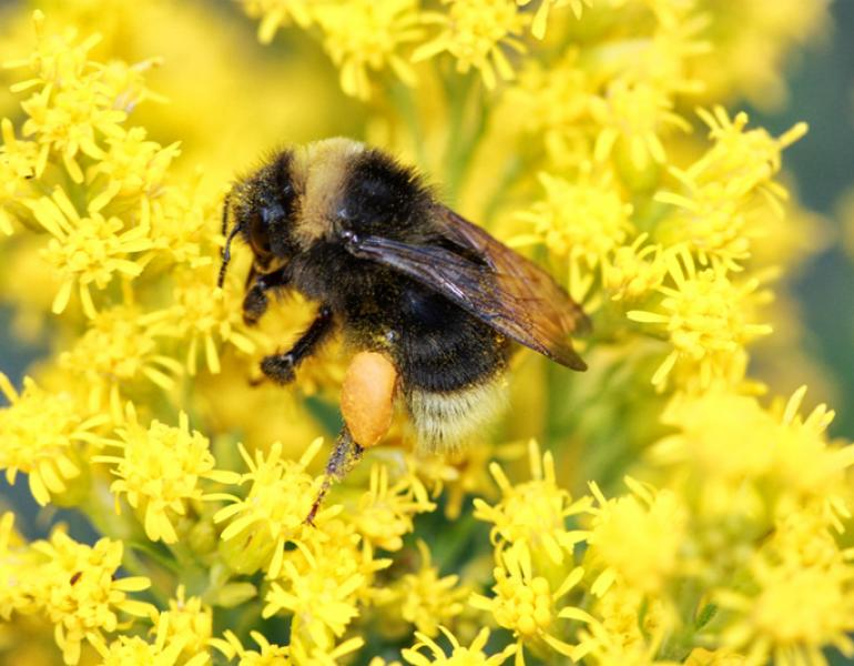 bombus occidentalis