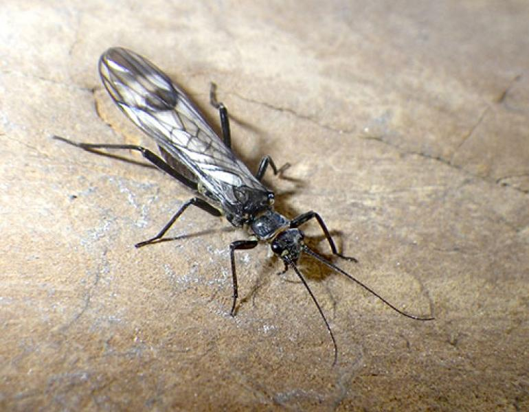 A western glacier stonefly rests on a brown rock