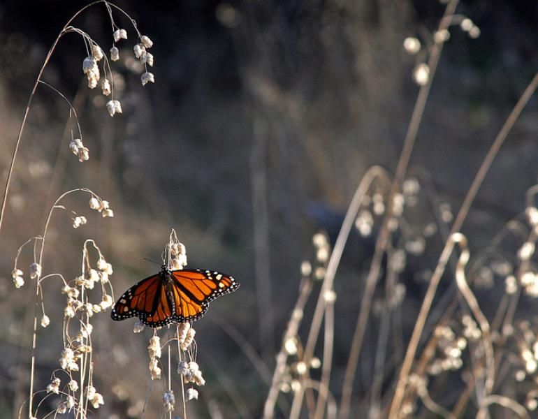 A bright orange and black monarch perches on dry flowers in a tan field.