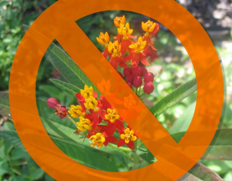 A graphic has a circle with a line through it superimposed over tropical milkweed, with its characteristic red and yellow flowers.