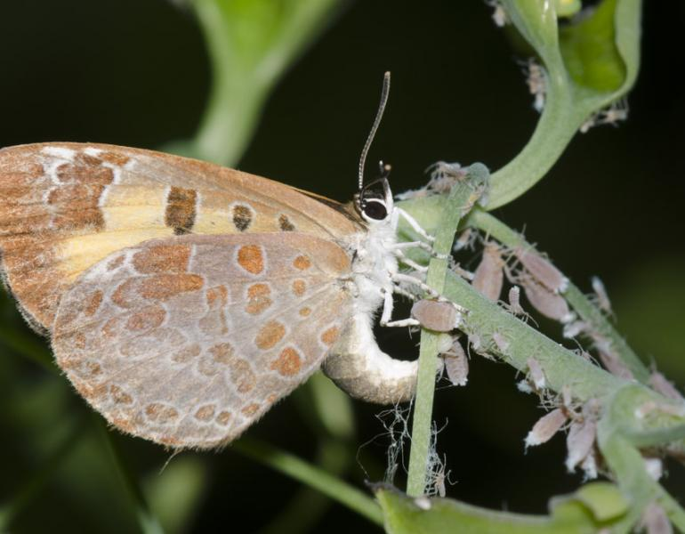 A gray butterfly with orange spots and details arcs its body towards a green stick, depositing a green, spherical egg near a lot of gray aphids.