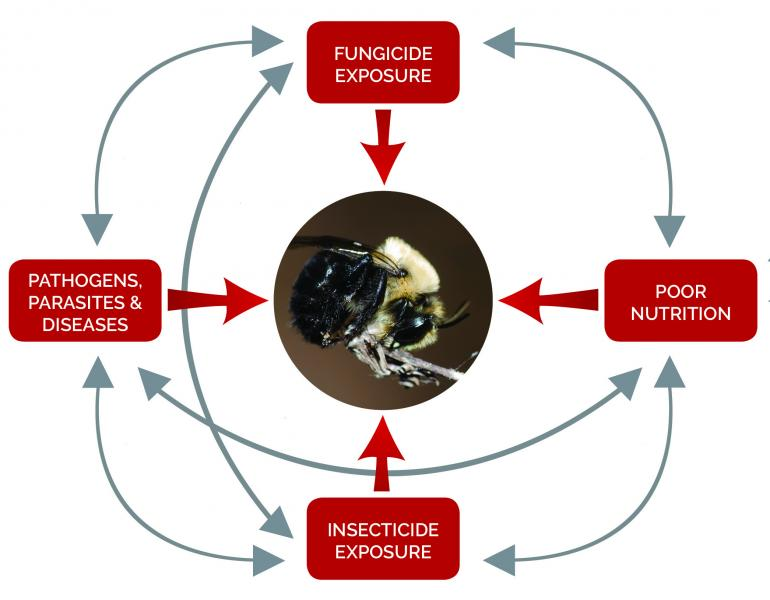 A diagram shows various interacting stressors that can impact bees and other pollinators, including fungicides.