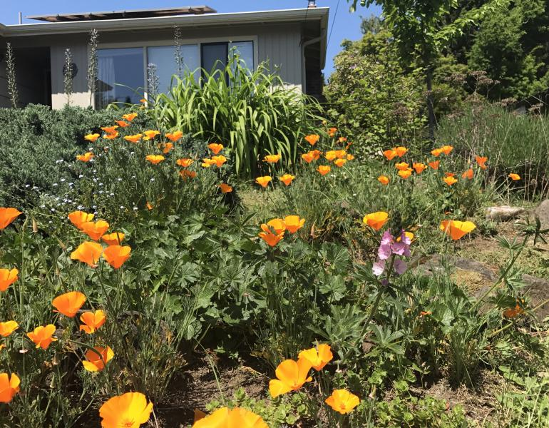 A garden in the front of a home showcases a variety of pollinator plants, including orange California poppies.