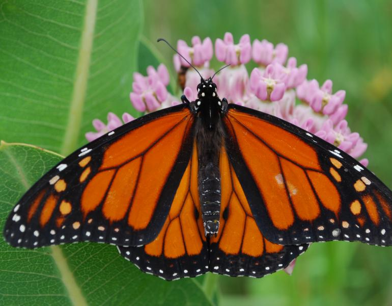 A beautiful, bright orange monarch perches atop bright pink milkweed blossoms.