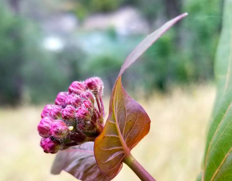 A tiny monarch egg can be seen in a cluster of pink milkweed blossoms.