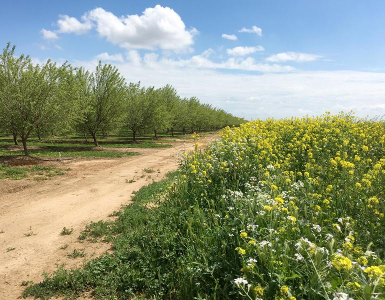 In this landscape image, rows of green, leafy trees are on the left, and on the right are blossoming cover crops of various colors. There is also blue sky and puffy clouds to round out this idyllic scene.