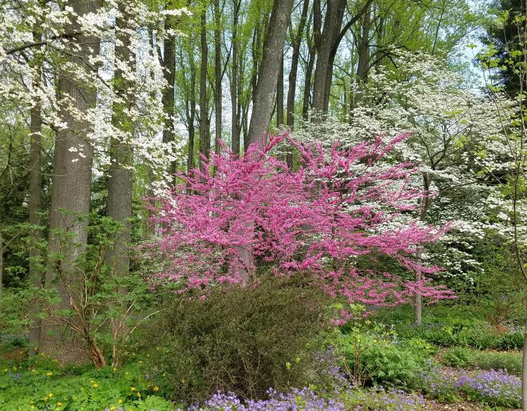 A redbud blooms alongside dogwood trees.