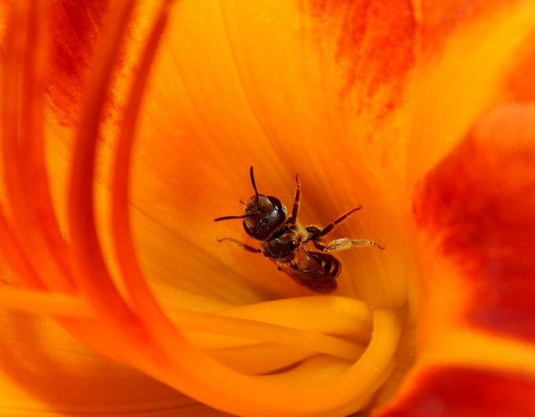 A bee is deep inside a brilliant orange-and-red flower.