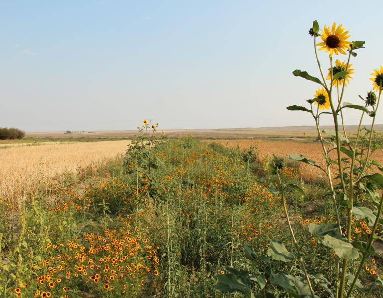 A field of sunflowers bordering a field.